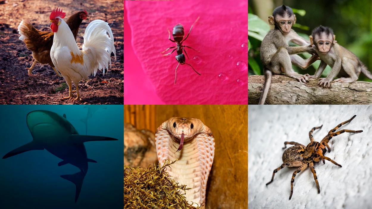 Gallinas, hormiga, monos, tiburón, cobra y araña / FOTOMONTAJE DE PdF