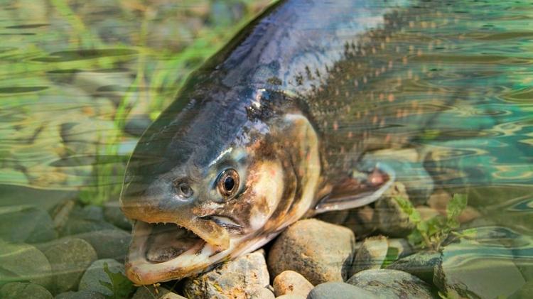 Trucha de río con la boca abierta / PIXABAY