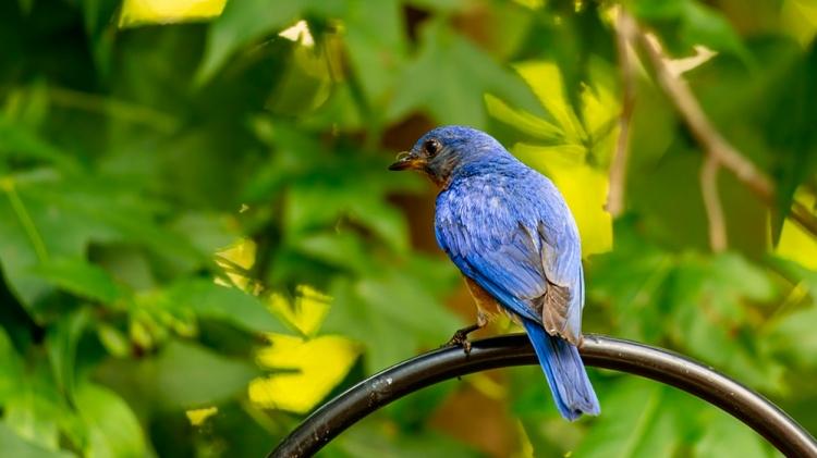 Pájaro azulejo / PIXABAY